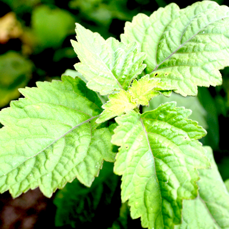 Patchouli Essential Oil 1