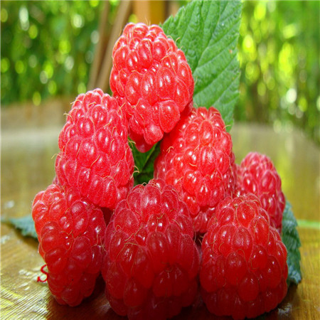 Raspberry Seed Refined Carrier Oil