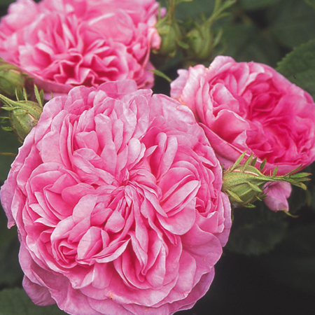 Rose (Damask) Pure & Natural Floral Waters