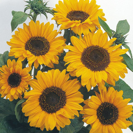 Sunflower Organic Carrier Oil