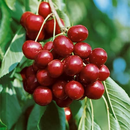 Sweet Cherry Kernel Carrier Oil  1