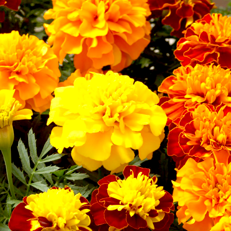 Tagetes Essential Oil Egyptian