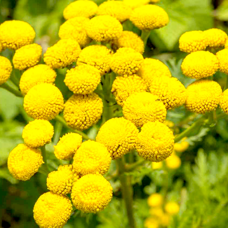 Tansy Blue Essential Oil 1