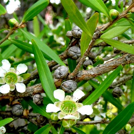 Tea Tree Lemon Essential Oil
