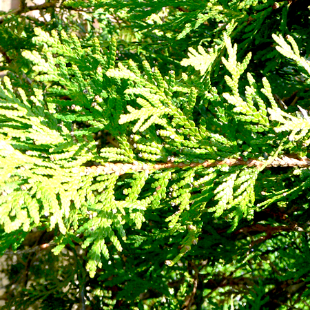 Thuja Essential oil  1