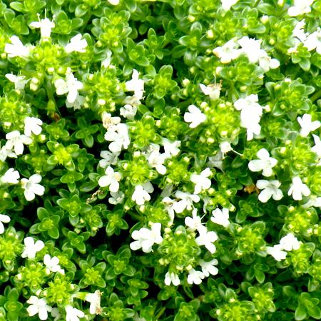 Thyme Essential Oil White