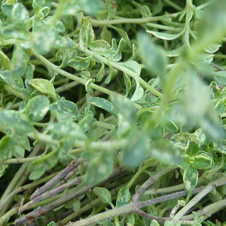 Thyme white Pure Floral Waters