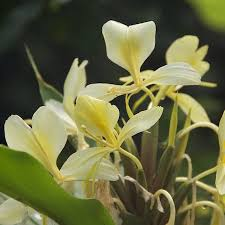 White Ginger Lilly  Oil
