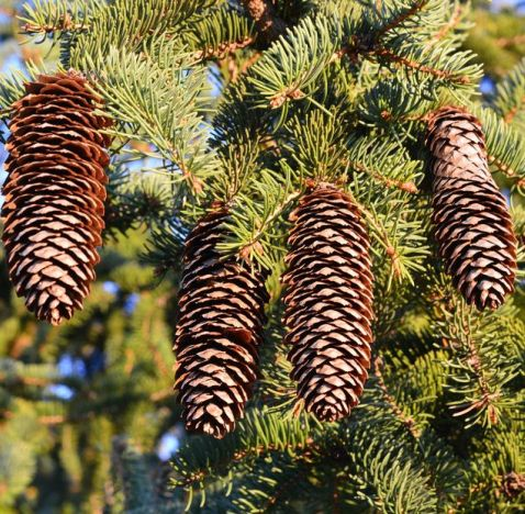 Pine (White) Needle Oil
