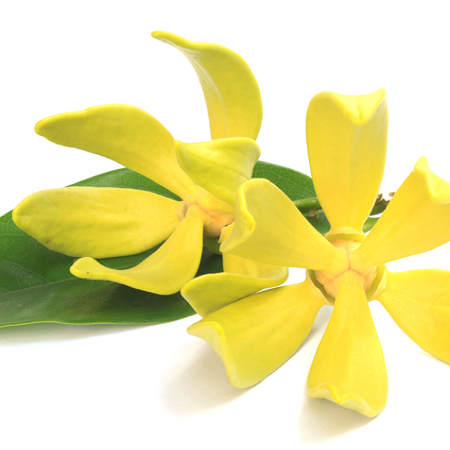 Ylang Ylang Essential Oil Madagascar
