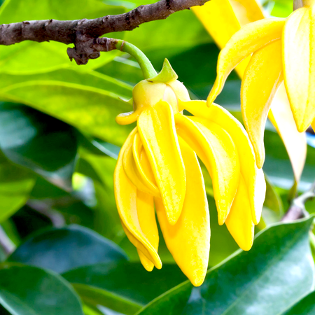Ylang Ylang Essential Oil three