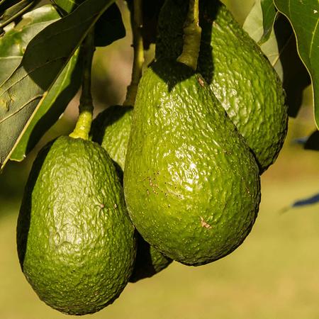 Avocado Carrier Oil - Cosmetic Grade - Refined