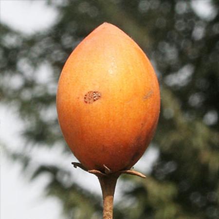 Bakul Attar