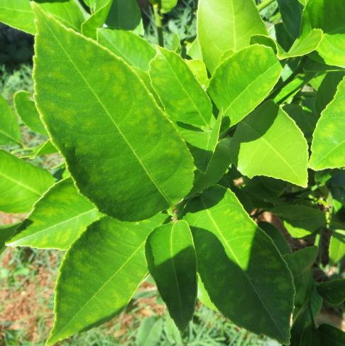 Lemon Leaves Essential Oil