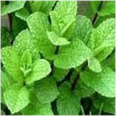 Mentha Citrata Peppermint Essential Oils
