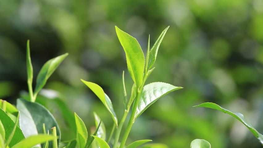 Tea Tree Therapeutic Grade Essential Oil