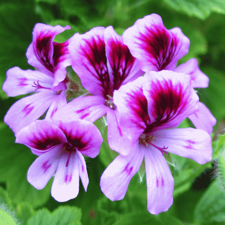 Rose Geranium Pure Floral Waters