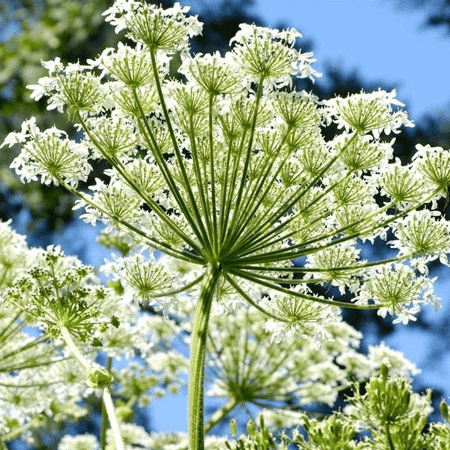 Angelica Pure Floral Waters