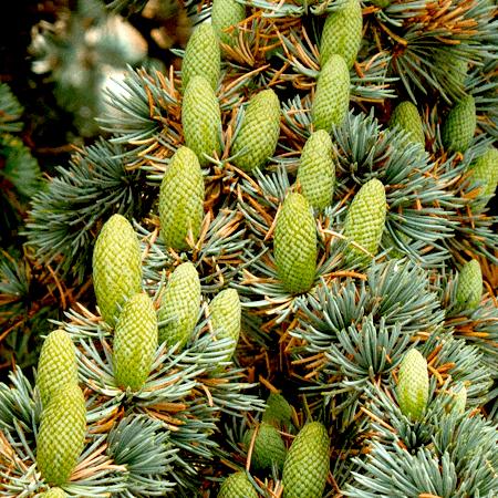 Atlas Cedar Essential Oils