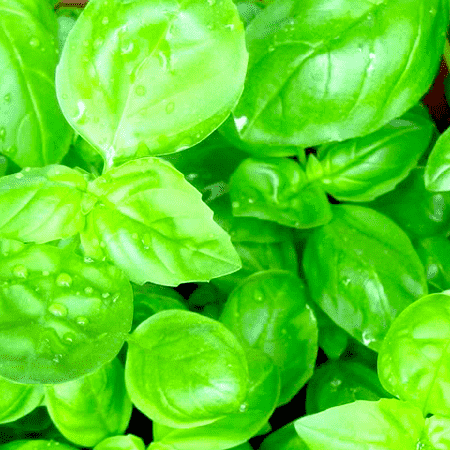 Basil Sweet Essential Oil India