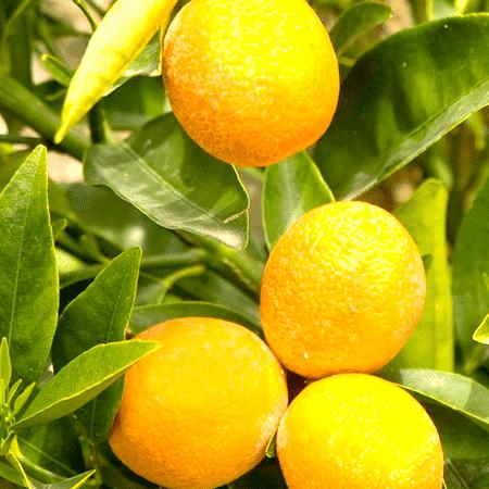 Bergamot Natural Blend Essential Oil
