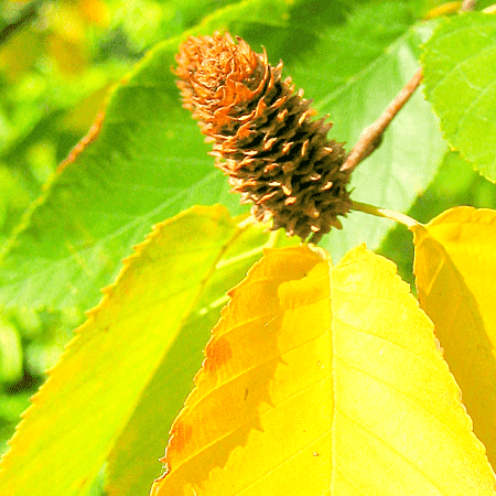 Birch Sweet Natural Blend Essential Oil