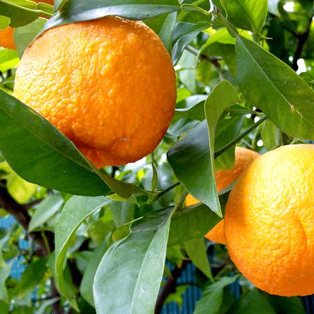 Bitter Orange Essential Oils