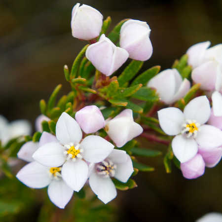 Boronia Floral Absolute Oil
