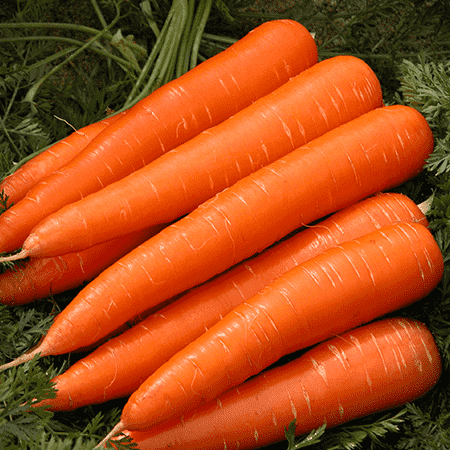 Carrot Carrier Oil (Macerated)