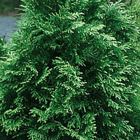 Cedarleaf (Thuja) Pure Floral Waters