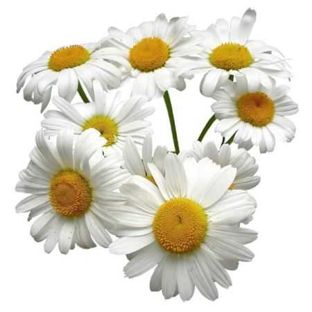 Chamomile German Egypt Essential Oil