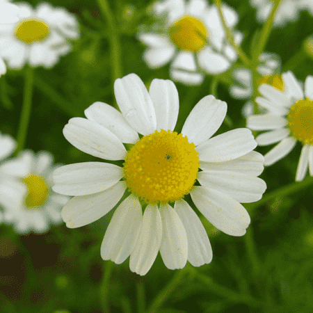 Chamomile German oil - Certified Organic