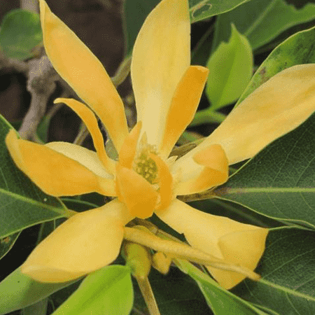 Champa (Mangolia Water)  Pure Floral Waters