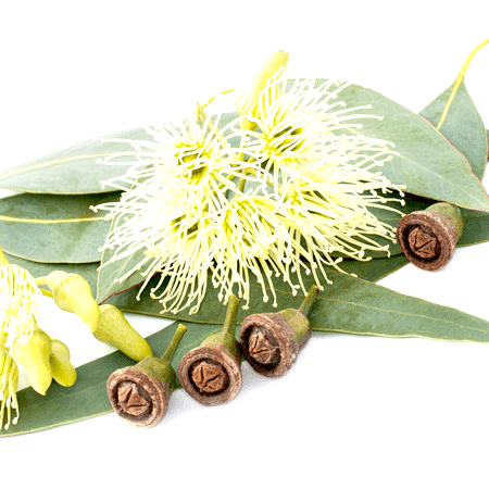 Eucalyptus Lemon Essential Oil Brazil