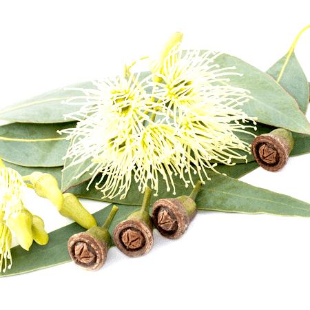 Eucalyptus Lemon Essential Oil Brazil