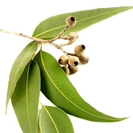 Eucalyptus Organic Essential Oil Blue Mallee