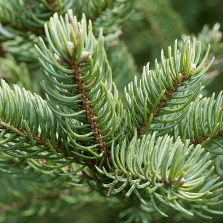 Fir Balsam Himalayan Essential Oil