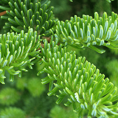 Fir Balsam Organic Essential Oil