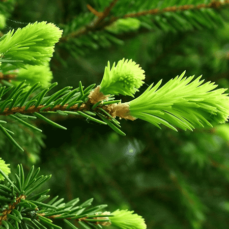 Fir Needle Siberian Essential Oil