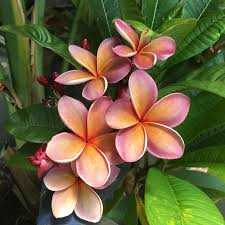 Frangipani Floral Absolute Oil