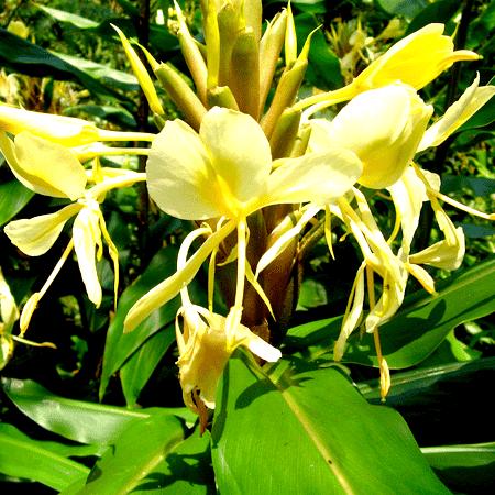 Hedychium Essential Oil