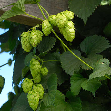 Hops Absolute Oils