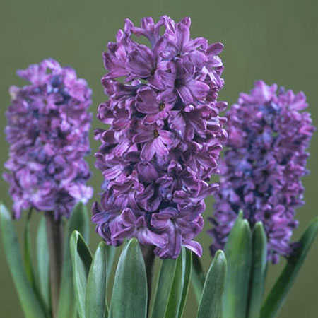 Hyacinth Floral Absolute Oils