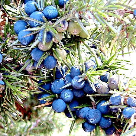 Juniper Berry Essential Oil Egypt