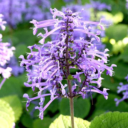Lavender Essential Oil South African Cape Lavender