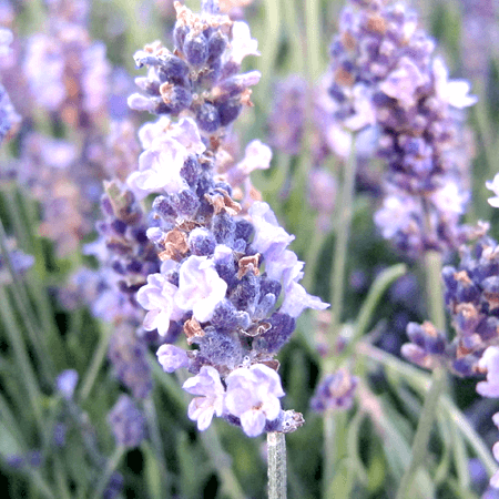 Lavender Essential Oil Spanish