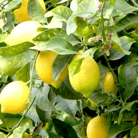 Lemon Argentina Essential Oil