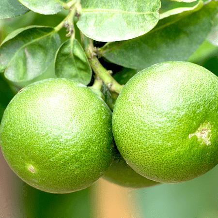 Lime Persian / Tahiti Essential Oil