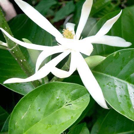 Michelia Alba Leaf Essential Oil