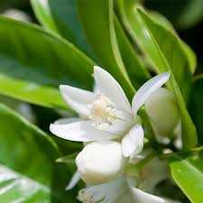 Neroli Pure Floral Absolute Oil